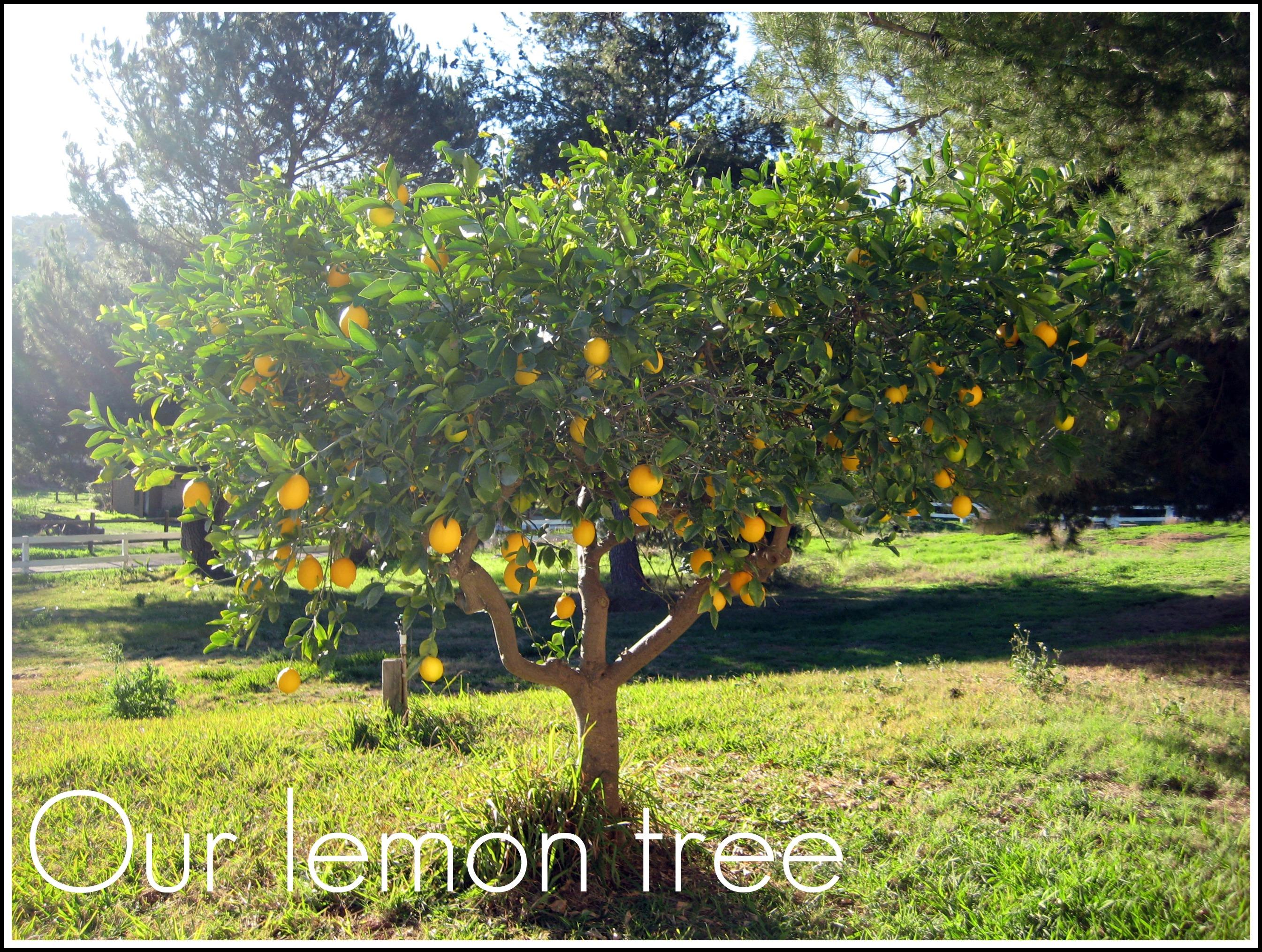 Lemon tree 2690 2030 garden pinterest for Lemon plant images
